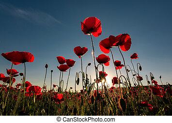 field of red poppy flower shot from below - field of red...