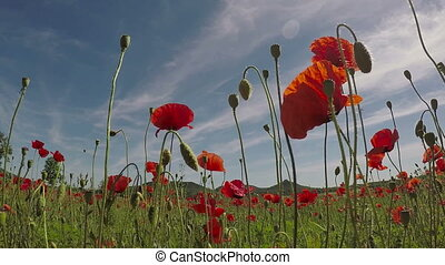 Field of red poppy flowers in early summer