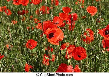 Field of red Poppy Flowers in Summer