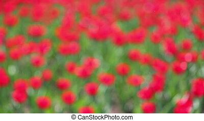 field of red tulips blooming - rack focus