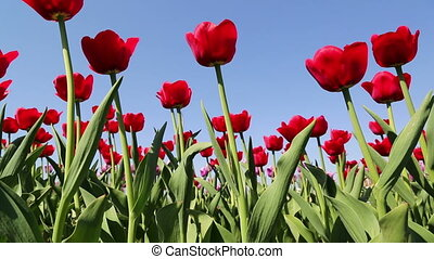 field of red tulips blooming - slider dolly shot