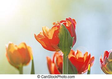 Field of red tulips. Flower background. Summer garden landscape