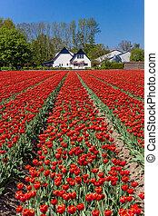 Field of red tulips in front of a house in Noordoostpolder