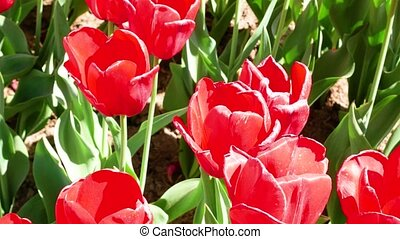 Field of red tulips.