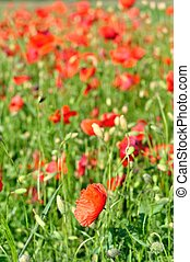 Field of red wild poppies