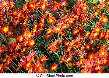 Field of Red-yellow and orange chrysanthemums.
