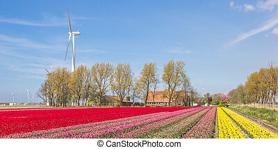 Field of red, yellow and pink tulips and a farm