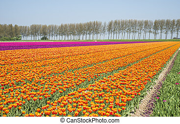 field of red yellow and purple tulips in holland