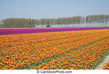 field of red yellow anmd purple tulips in holland