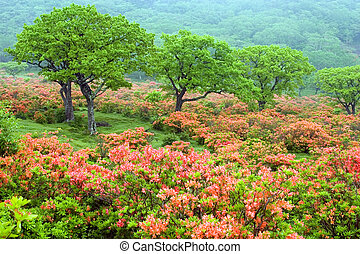Field of Rhododendrons