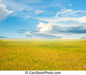 Field of rice and the blue sky