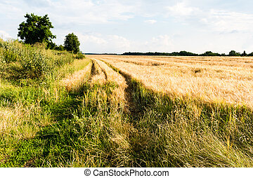 Field of ripe barley. Nice rural landscape with bright sun ...