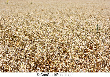 Field of ripe barley ready to harvesting