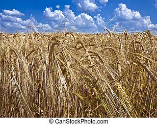 field of ripe barley to the horizon
