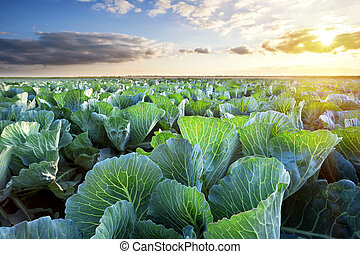 Field of ripe cabbage under a sunny sky