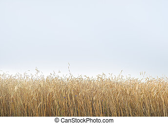 Field of ripe cereal plant - Yellow grain ready for harvest...