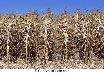 field of ripe corn before harvest