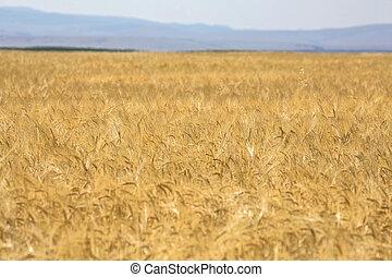Field of ripe golden wheat