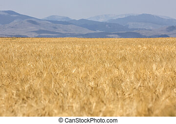 Field of ripe golden wheat