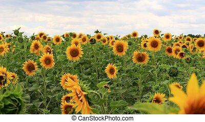 Field of ripe sunflowers