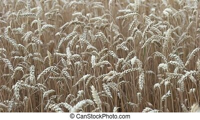 Field of ripe wheat closeup