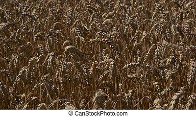 Field of ripe wheat closeup