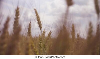 Field of ripe wheat in summer - Dolly shot of field of ripe...