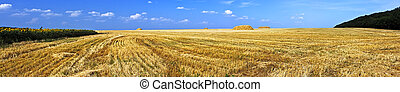 Field of ripe wheat just after harvesting