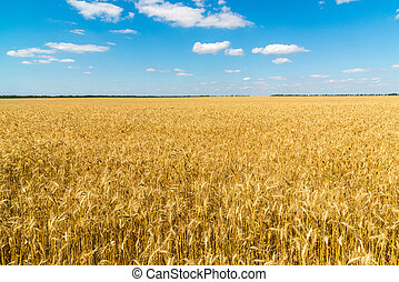 field of ripe wheat on a sunny day