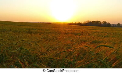 field of ripe wheat, slider dolly shot