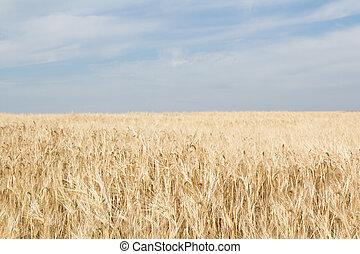 Field of ripe yellow wheat on a blue sky