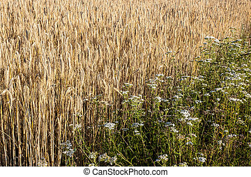 field of ripening barley in summer on a sunny day