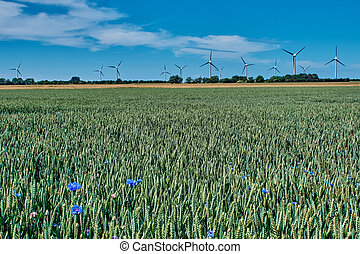 Field of ripening rye with windmill in the background
