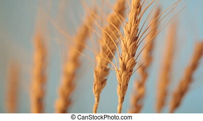 field of ripening wheat against the blue sky. Spikelets of ...
