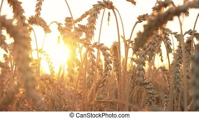 Field of ripening wheat ears. Rye spikes, evening sunset...