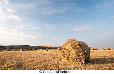 Field of Round bales of hay after harvesting