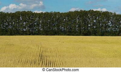 Field of rye 2