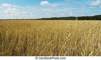 Field of rye 4