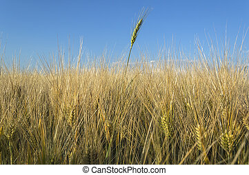 Field of rye, Agricultural concept.