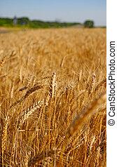 Field of rye before harvest vertical landscape.