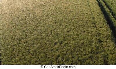 Field of Rye Blue Sky Aerial