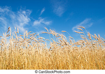 field of rye, blue sky