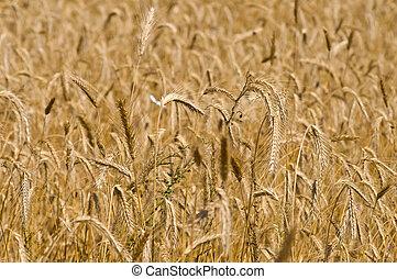 Field of rye. Fragment. Harvest time. Summer landscape