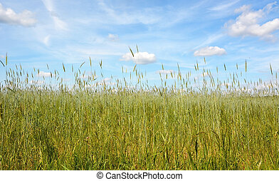 Field of rye in the summer day