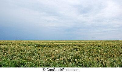 Field of rye landscape. Dramatic summer weather