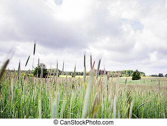 Field of rye on sunny day