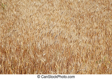 Field of rye ready for harvest.