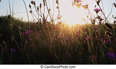 Field of small violet wildflowers fluttering on wind in...