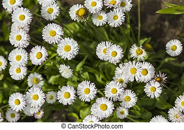 Field of small white Chamomile