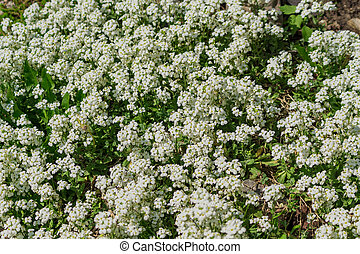 Field of small white flowers. Natural background.
